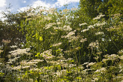 Cow Parsley Royalty Free Stock Images