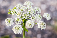 Cow parsley flower Stock Images