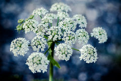 Cow parsley flower Stock Photo