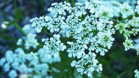 Cow Parsley, Flower, Plant, Apiales royalty free stock image