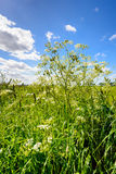 Cow parsley and flowering grasses in a roadside Royalty Free Stock Image