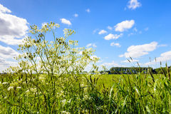 Cow parsley and flowering grasses in a roadside Stock Photo