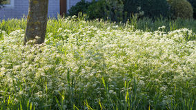 Cow parsley flowers Stock Image