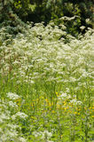 Cow Parsley in Glade Stock Photos