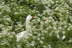 Cow parsley with goose Royalty Free Stock Photo