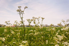 Cow Parsley growing in the foreground Royalty Free Stock Photo