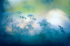 Cow parsley in the meadow. Soft defocused summer view stock photos
