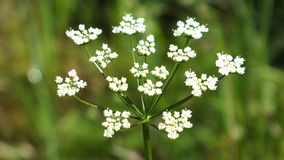 Cow Parsley. Norwegian Cow Parsley in July Royalty Free Stock Photos