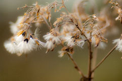 Cow parsley seed head Royalty Free Stock Photography