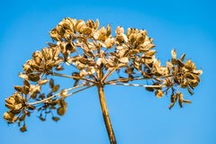 Cow Parsley Seedhead Close Up Stock Image