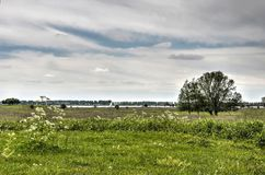 Cow parsley and a single tree. Meadow with grass and cow parsley as well as a single tree on the nature island of Tiengemeten, The Netherlands Stock Photos