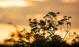 Cow Parsley with sunrise in the background Stock Photo