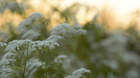 Cow Parsley with sunrise in the background stock footage