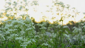 Cow Parsley with sunrise in the background stock video