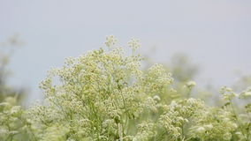 Cow Parsley with sunrise in the background stock video footage