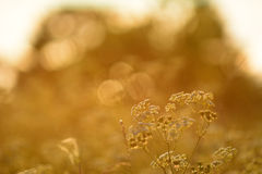 Cow Parsley with sunset in the background Royalty Free Stock Photo