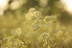 Cow Parsley with sunset in the background Royalty Free Stock Images