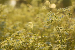 Cow Parsley, Anthriscus sylvestris during sunset in Sweden Royalty Free Stock Photography