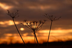 Cow Parsley at Sunset Stock Photos