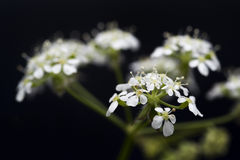 Cow parsley weed anthriscus sylvestris queen annes lace Royalty Free Stock Image