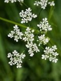 Cow Parsley or Wild Chervil, Anthriscus sylvestris, flower clusters macro, selective focus, shallow DOF.  royalty free stock image
