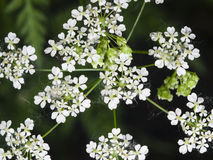 Cow Parsley or Wild Chervil, Anthriscus sylvestris, flower clusters macro, selective focus, shallow DOF Stock Image