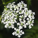 Cow Parsley or Wild Chervil, Anthriscus sylvestris, flower clusters macro, selective focus, shallow DOF Royalty Free Stock Photos