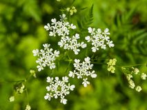 Cow Parsley or Wild Chervil, Anthriscus sylvestris, flower clusters macro, selective focus, shallow DOF Stock Photos