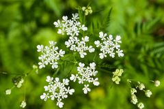 Cow Parsley or Wild Chervil, Anthriscus sylvestris, flower clusters macro, selective focus, shallow DOF.  Stock Images