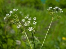 Cow Parsley or Wild Chervil, Anthriscus sylvestris, flower clusters macro, selective focus, shallow DOF.  Stock Photo