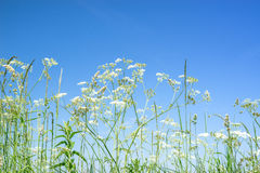 Cow parsley wildflowers in blue sky Royalty Free Stock Photography