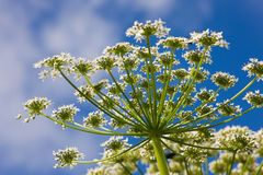 Cow parsnip. Close up against the sky stock photos