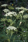 Cow Parsnip Stock Image