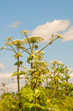 Cow parsnip Royalty Free Stock Photography