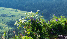 Cow parsnip along trees in summer Stock Photo