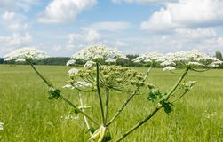 Cow parsnip blooms. On a meadow in summer stock photos