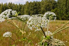 Cow parsnip blooms. In a meadow, Heracleum Sosnowskyi stock images