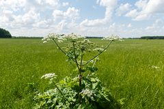 Cow parsnip blooms. On a meadow in summer royalty free stock images