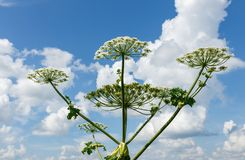 Cow parsnip blooms in summer. Heracleum Sosnowskyi on blue sky background, cow parsnip blooms stock photos