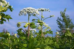 Cow parsnip Royalty Free Stock Photo