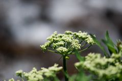 Cow Parsnip Buds. Wild, green cow parsnip buds prepare to bloom in the Colorado Rocky Mountains stock images