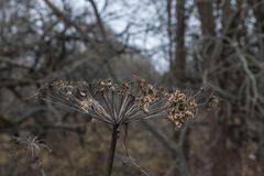 Cow parsnip dried in the field, the weed, umbrella plant. Russia. Cow parsnip dried in the field, the weed, umbrella plant stock photos