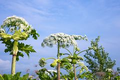 Cow parsnip flowers Royalty Free Stock Photography
