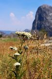 Cow parsnip flowers, Heracleum, Yosemite. The white color flowers of the Cow Parsnip at Yosemite. And common names for the genus or its species include hogweed royalty free stock images