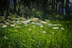 Cow Parsnip at the Forest Edge. Cow Parsnip is flowering during early summer in the shades areas with plenty of moisture royalty free stock image