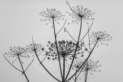 Cow parsnip on a gray background. Close royalty free stock images