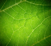 Cow Parsnip Green Leaf Texture. Stock Images