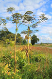 Cow-parsnip (Heracleum) Stock Images