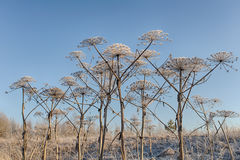 Cow parsnip in hoarfrost Royalty Free Stock Photo