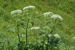 Cow Parsnip Patch. Cow Parsnip is an indicator plant for fresh rich soils and serves also as a staple food for many First Nation peoples stock images